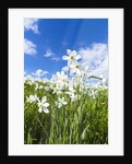 White Daffodil blooming by Corbis