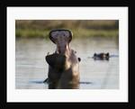 Hippopotamus yawning by Corbis