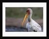 Yellow-billed stork by Corbis