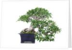 bonsai ficus by Corbis