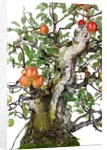 bonsai apple by Corbis
