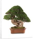 bonsai juniper by Corbis