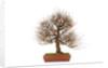 pomgranate bonsai by Corbis