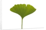 Ginko leaf by Corbis