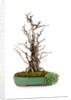 bonsai by Corbis