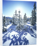 Sun Shining on Snow-Covered Trees by Corbis
