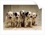 Dalmatian Puppies by Corbis