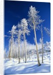 Trees in Snow by Corbis