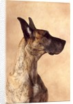 Profile of a Great Dane by Corbis