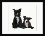 Two Terrier Puppies by Corbis