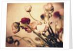 Ranunculus #2 by Jennifer Kennard