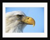 Bald Eagle Profile by Corbis