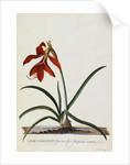 Jacobean Lily by Georg Dionysius Ehret
