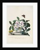Christmas Rose and Winter Aconite by Johann Wilhelm Weinmann