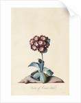 Botanical Print of Garden Auricula by Johann Wilhelm Weinmann