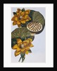 18th Century French Print of Waterlily by Corbis
