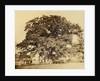 Oak in Summer by Edward Fox