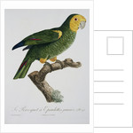 Yellow-Shouldered Parrot by Jacques Barraband