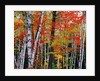 Birch and Maple Trees in Autumn by Corbis