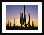 Silhouettes of Saguaro Cacti at Sunset by Corbis
