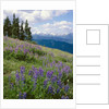 Meadow of Lupine Wildflowers by Corbis