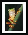 Barred Leaf Frog on Plant Stem by Corbis