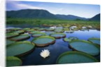 Royal Water-Lilies in the Pantanal by Corbis
