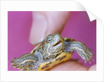 Small Turtle by Corbis