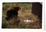 Chicken Looking at Nest of Eggs by Corbis