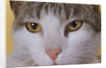 Face of a Cat by Corbis