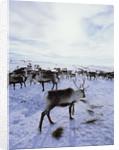 Reindeer Herd Gathering in Snow by Corbis