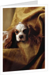 Cavalier King Charles Spaniel by Corbis