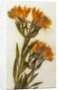 Alstroemeria I by David Roseburg
