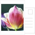 Tulipa by Corbis