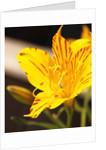 Alstroemeria by Corbis
