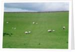 Sheep on Hillside in Ireland by Corbis