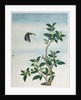 Early 19th-Century Chinese Watercolor of a Cinnamon Plant by Corbis