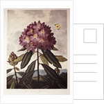 Book Illustration of a Pontic Rhododendron by Corbis