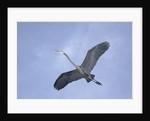 Great Blue Heron in Flight by Corbis