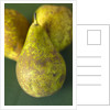 Conference Pears by Corbis
