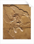 Archaeopteryx Fossil by Corbis