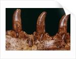 Teeth of a Megalosaurus by Corbis