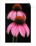 Echinacea Plant by Corbis