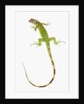 Green Iguana by Corbis