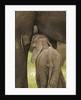 Elephant Calf Suckling by Corbis