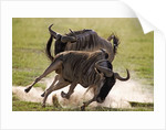 Blue Wildebeests Fighting by Corbis