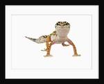 Leopard Gecko by Corbis