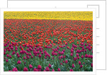 Colorful Tulip Field by Corbis