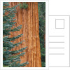 Evergreen and Sequoia Tree Trunk by Corbis