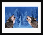 Pair of Howling Gray Wolves by Corbis